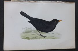 Morris 1870 Antique Bird Print. Blackbird